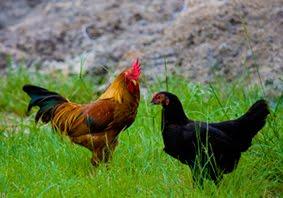 diet untuk ayam serama